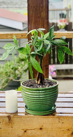 Live indoor Money tree house plant in a ceramic planter flower pot with base attached—firm price for Sale in Seattle, WA