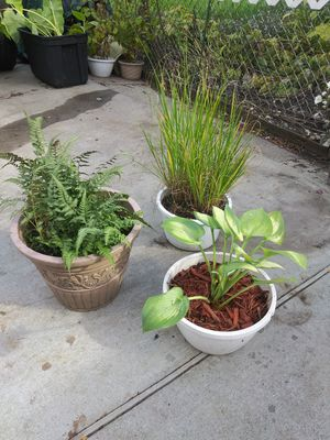 3 Perennial Potted Plants for Sale in Warren, MI