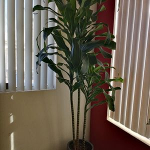Live Large Dracaena Plant With Ceramic Pot. for Sale in North Las Vegas, NV