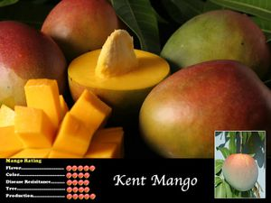 Kent Mango grafted in 3gal late season fiberless fruit for Sale in Fort Lauderdale, FL