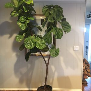 Large Fiddle Leaf Fig for Sale in Fort Worth, TX
