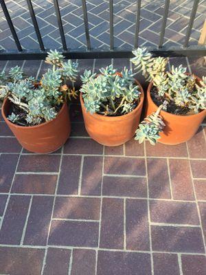 Beautiful succulents for Sale in Corona, CA