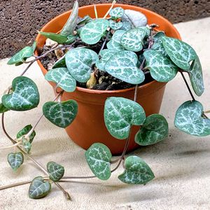 String of Hearts Succulent for Sale in Pineville, LA