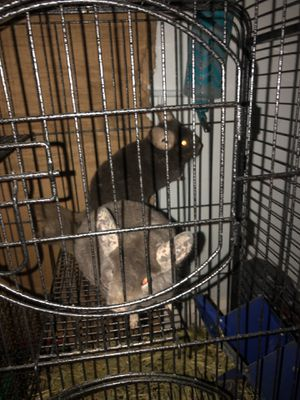 Chinchillas spike and gizmo for Sale in Brooklyn, OH