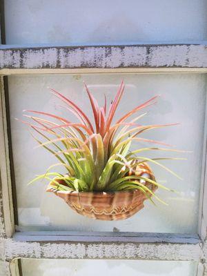 Air Plant & Holder, Window Planter, Houseplant for Sale in Las Vegas, NV