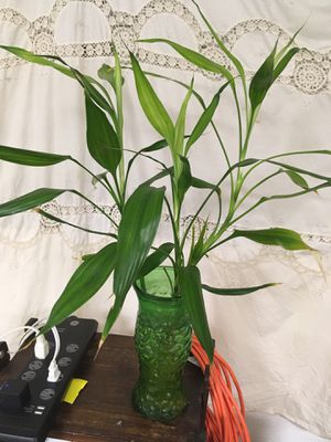 Three Lucky Bamboo Plants In Green Glass Vase for Sale in Fort Pierce, FL