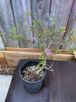 """Selling 9 """"Purple Flower Plants $15 EACH!! for Sale in San Jose, CA"""