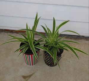 Spider house plants$12 each pot for Sale in Affton, MO
