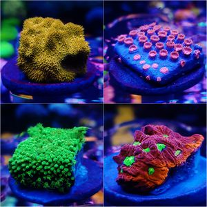 Coral frag pack!!!! for Sale in Orlando, FL