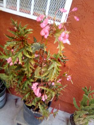 Outdoor plant for Sale in Vernon, CA