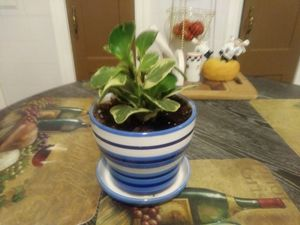 House Plant needs light for Sale in Cleveland, OH