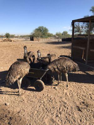 Emus 6 months old for Sale in Laveen Village, AZ