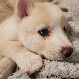Se Vende Cachorro for Sale in Columbia, MD