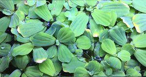 Aquarium plants water lettuce frog bit for Sale in Joint Base Lewis-McChord, WA