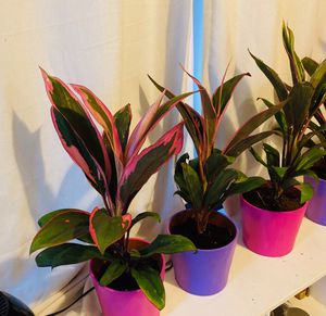 Valentine's Day plants for Sale in Austin, TX