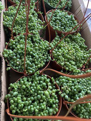 "Senecio String of Pearls Succulent 6"" Pot for Sale in Long Beach, CA"