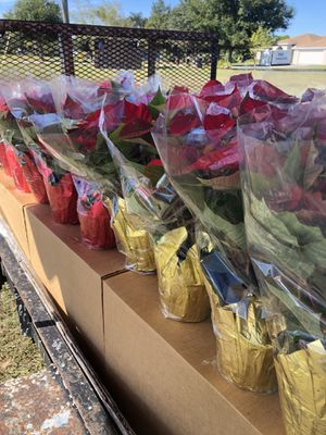 Poinsettas for Sale in Haines City, FL