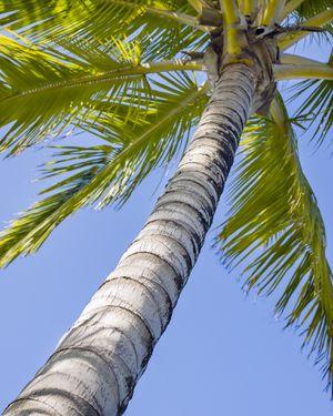 Hawaiian palm tree - 8x10 archival photo for Sale in Mount Prospect, IL