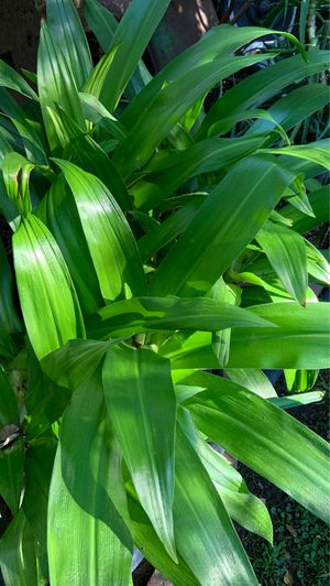 Lilly plants in pot decorative green plants white flowers for Sale in Altadena, CA