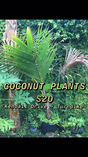 Coconut Plants for Sale in Miami, FL
