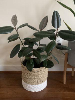 Rubber Tree plants for Sale in Tysons, VA