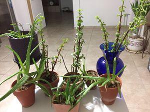 Aloe, jade small house plants(8 PCs). for Sale in Phoenix, AZ