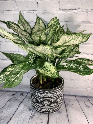 """""""First Diamond"""" Aglaonema (White Chinese Evergreen) in 6"""" Black & White Clay Pot for Sale in Los Angeles, CA"""