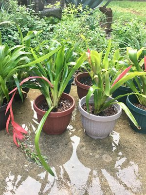 Plant pot Queens Tears Bromeliad ( Friendship Plant) garden patio flower tropical beach pool for Sale in San Antonio, TX
