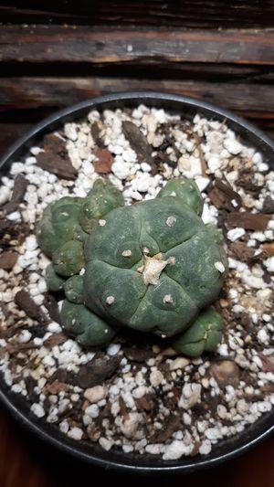 Ariocarpus Super Rare Cactus Plant for Sale in Ojo Caliente, NM