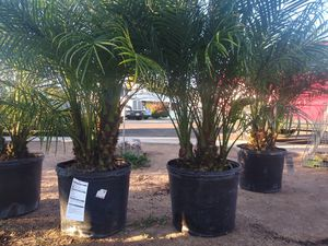 3 large pigmy palms must go 100$ all for Sale in Phoenix, AZ