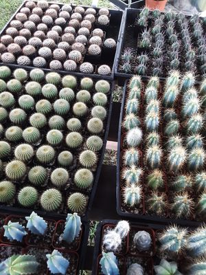 """2"""" pots with cactus plants $2 each and $65 for tray of 64 for Sale in La Mirada, CA"""