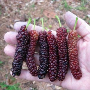 Morus 'Pakistan' (Mulberry) one starter plant, bare root, 6-12 inches high plant for Sale in Livingston, NJ