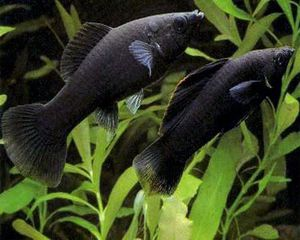 Pair of black mollies for Sale in Fontana, CA