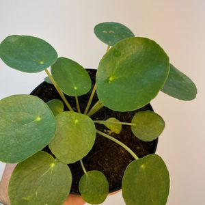 "Pilea Peperomioides 5"" for Sale in Orlando, FL"
