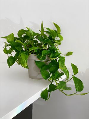 Beautiful Pothos Plant for Sale in New York, NY