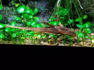 Red whiptail cat, rineloricaria sp for Sale in Seattle, WA