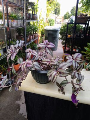 WANDERING JEW PLANT for Sale in Paramount, CA