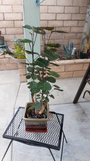 ARALIA FABIAN POLYSCIAS SCUTELLARIA!!!!....INDOOR AIR PUIRIFIER PLANT!!!... for Sale in Ontario, CA