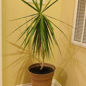 Irish Madagascar Plant for Sale in Franklin, TN