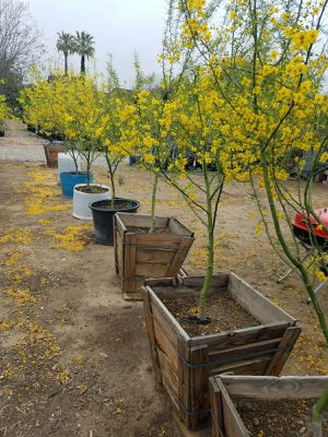 PALO VERDE TREES / DESERT MUSEUM / THORNLESS, DROUGHT TOLERANT, $40. for Sale in Rancho Cucamonga, CA
