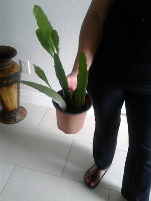 Midnight lady Plant dama de media noches for Sale in Orlando, FL