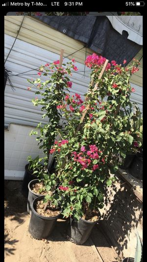 Pink Bougainville for Sale in Fresno, CA
