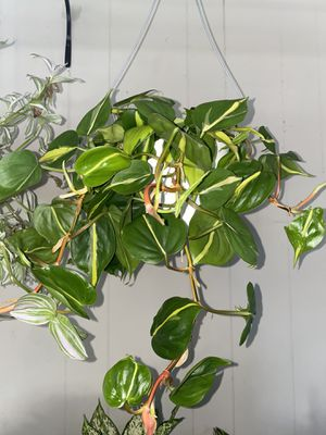 Real brasil philodendron 6 inch for Sale in Rancho Cucamonga, CA