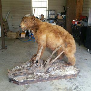 Cinnamon Black Bear for Sale in Rhine, GA