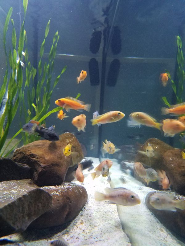Free African cichlids only