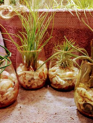 Air plants on display for Sale in Winter Park, FL