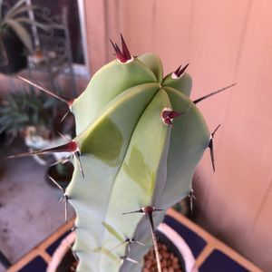 Cactus Plant Cutting Myrtillocactus Geometrizans Grafting Live Beauty for Sale in Chandler, AZ