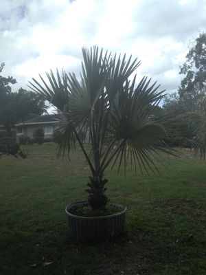 Bismarck Palms 10 foot planted for Sale in Orlando, FL