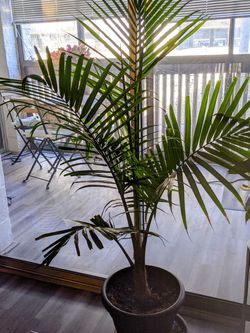 Palm Plant for Sale in Aurora,  CO