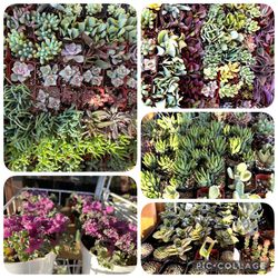 Colorful And Variegated Succulents for Sale in Westminster,  CA